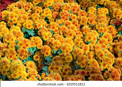 Calendula and Yellow flower in garden