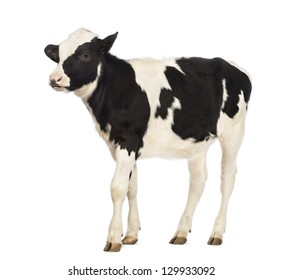 Calf, 8 months old, in front of white background
