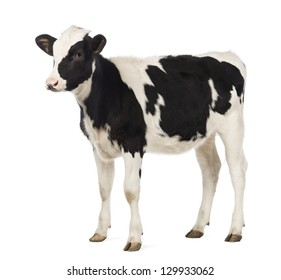 Calf, 8 months old, looking away in front of white background