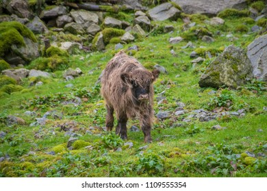 Calf adolescent bull scottish highland beef on gras