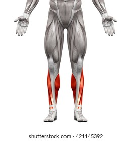 Calf - Anatomy Muscles isolated on white - 3D illustration