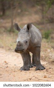 calf or baby white or square-lipped rhinoceros, Ceratotherium simum, looking alerted but playing tough