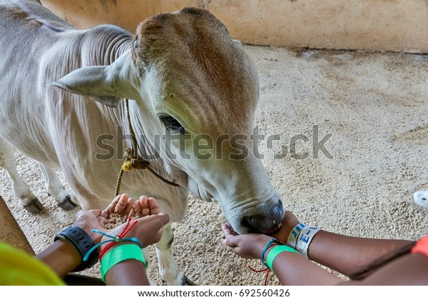 A calf being fed by two pairs of kids' hands. The baby cow seems to be enjoying the meal. One kid is actually feeding while another is waiting for his turn. A lesson in farming, animal interaction.