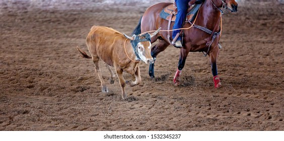 A calf being lassoed by cowboys on horseback in a team calf roping competition at a country rodeo
