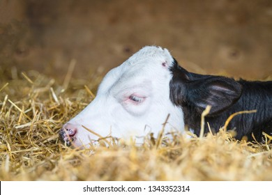 Calf with black and white spots sleeping in a barn on golden hay in rural surroundings
