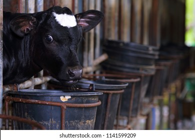 Calf Care. Dairy farm management and calf feeding. Feeding roughage and concentrate for dairy calves in a dairy farm.