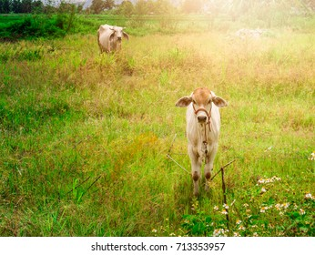 calf child cow with mother cow Stay alerted.