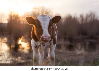 Calf cow standin near the swamp, looking at the camera, selective focus, lens flare, copy space