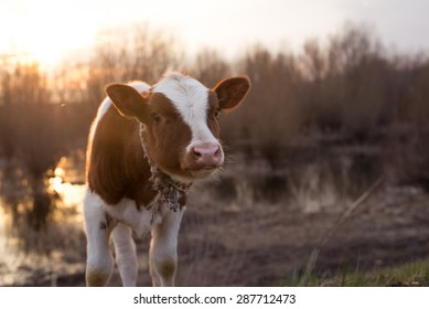 Calf cow standing on the field near the swamp at sunset and looking at the camera. Selective focus, narrow depth of field. Lens flare, warmer tones