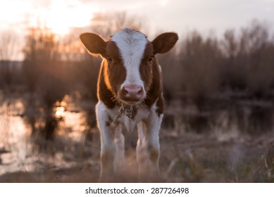 Calf cow standing on the field near the swamp at sunset and looking at the camera. Selective focus, narrow depth of field. Lens flare with warmer tones, copy space