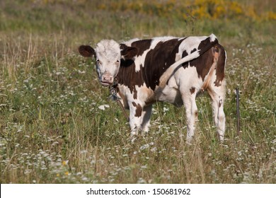calf cows on green pasture against white wildflowers