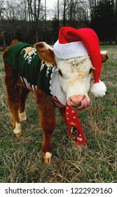 calf dressed for christmas