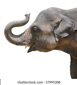 Calf Elephant thailand isolated