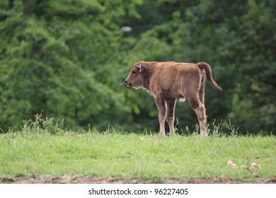 calf of european bison, bison bonasus
