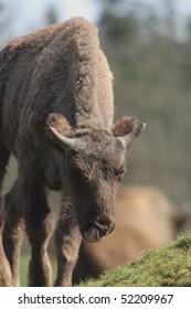 calf of european bison, bison bonasus grazing