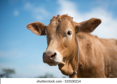 Cow Face Images, Stock Photos & Vectors | Shutterstock