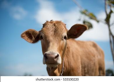 Calf face , selective focus