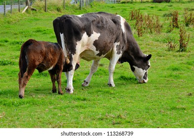 Calf feeding from her grazing mother cow