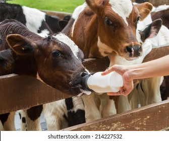 Calf feeding from milk bottle.
