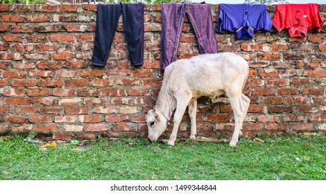 A calf grazes on grass alongside a crude brick wall with laundry drying on top of it.