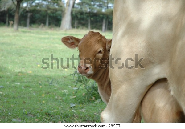 A calf with his mommy.  I thought it was cute the way he peeked around to see what I was doing!!  September 2004