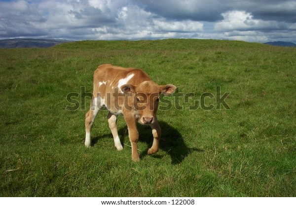 A calf in Iceland, walking on a grass field.