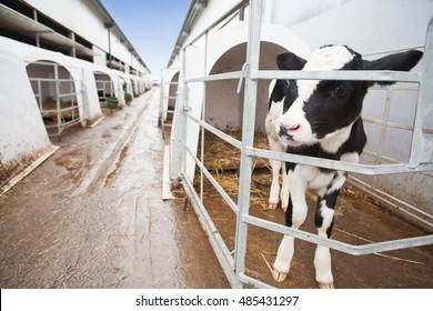 Calf in a large cow farm