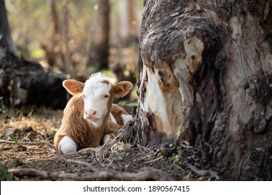 A calf is lying on the ground in the forest