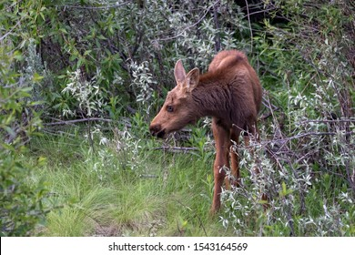 A calf moose looks for food along the Snake River in Wyoming.