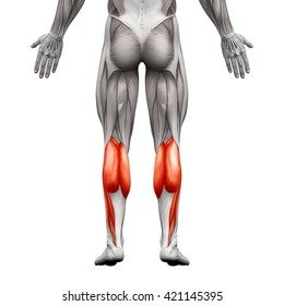 Calf Muscle Male - Gastrocnemius, Plantar Anatomy Muscle - isolated on white - 3D illustration