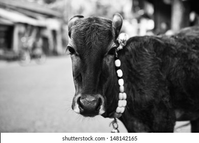 The calf on a city street with a bell around his neck. Black-and-white photo