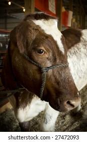 A calf on display at an Ohio county fair
