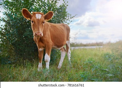 Calf on a green sunny meadow, Looks at the camera