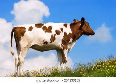 Calf on a Mountain Summer Pasture. White and brown calf on a mountain pasture with green grass, yellow flowers and blue sky with clouds