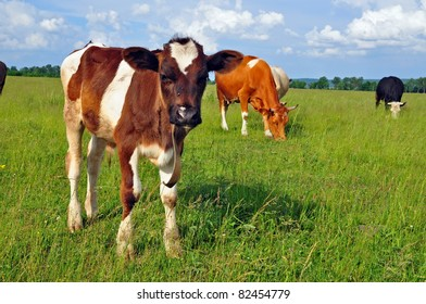 The calf on a summer pasture.