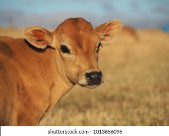 calf in the pasture