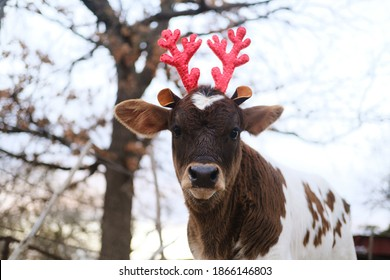 Calf in reindeer antlers for Christmas baby cow.