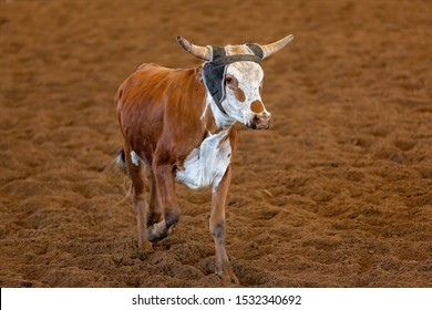 A calf running away from cowboys trying to lasso it in a calf roping event at a country rodeo