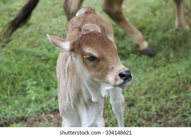 calf standing on grass