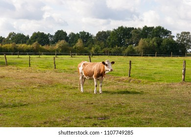 Calf standing on a juicy pasture in the sunshine