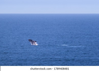 Calf whale breaching, exercising and getting stronger before traveling back to Antarctica. Individual young Southern right whale. Nullarbor, Head of Bight, South Australia