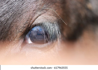 Calf's eye close-up. Beautiful eye of a farm animal with long eyelashes. A macro of cow's eyes. Abstract photo of an animal. Detailed photo with the structure of the retina.