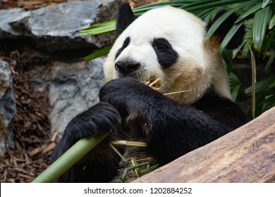 CALGARY, AB - May 22, 2018 Giant Panda, Da Mao, in his enclosure at the Calgary Zoo