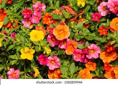 Calibrachoa flowers in orange, pink and yellow in bright summer sun
