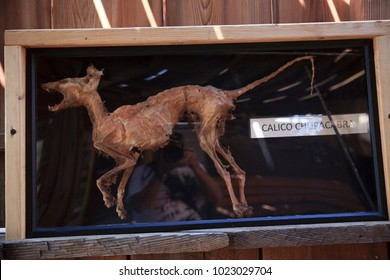 Calico, California / USA - August 23, 2015: A chupacabra in a showcase in Calico Ghost Town, Calico, California, USA