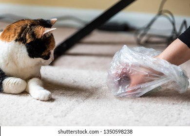 Calico cat face looking funny humor at mess on carpet inside indoor house home with hairball vomit stain and woman owner cleaning picking up with plastic bag