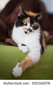 Calico cat indoor