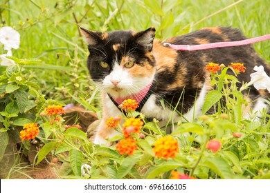 Calico cat in a pink harness and leash in summer garden