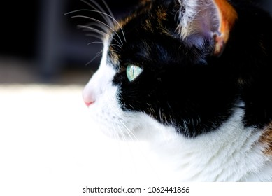 Calico Cat in Profile
