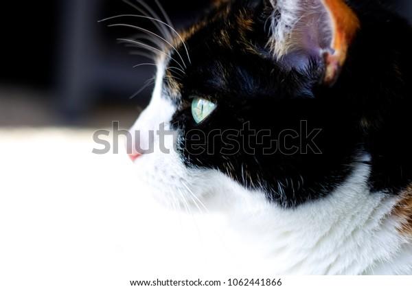 Calico Cat in Profile